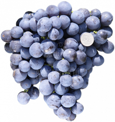 Виноград Экзотик
