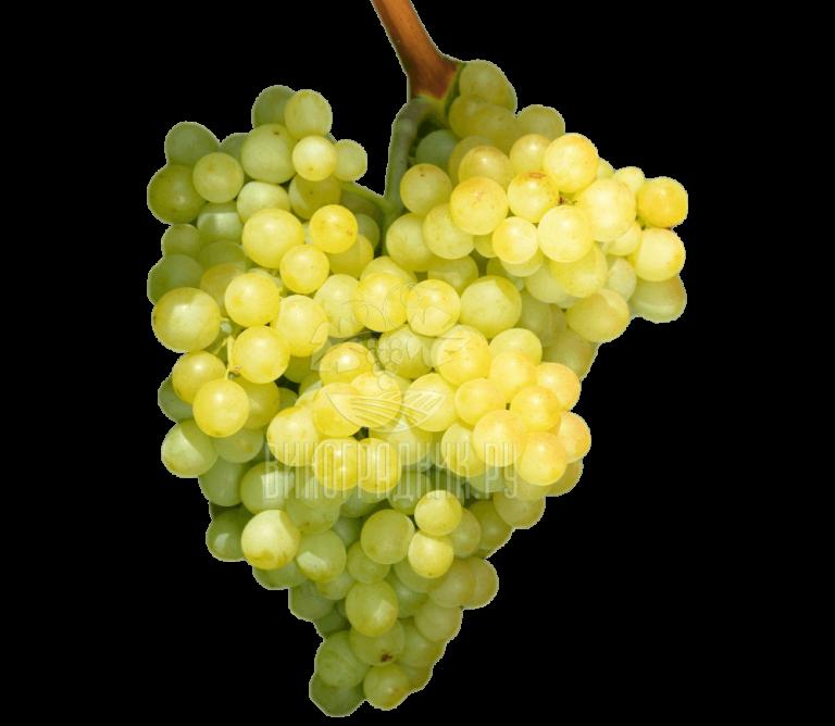 Виноград Кишмиш Саграйон