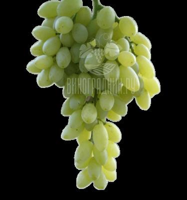 Виноград Кишмиш Столетие
