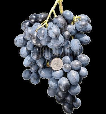 Виноград Лорано
