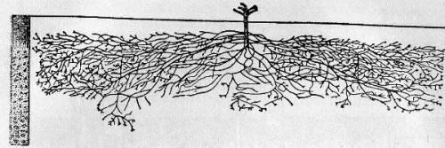 У винограда уникальная корневая система