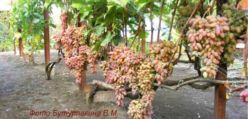Без чего не добиться хорошего урожая винограда