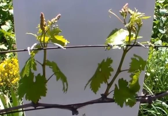 Работы на винограднике в мае