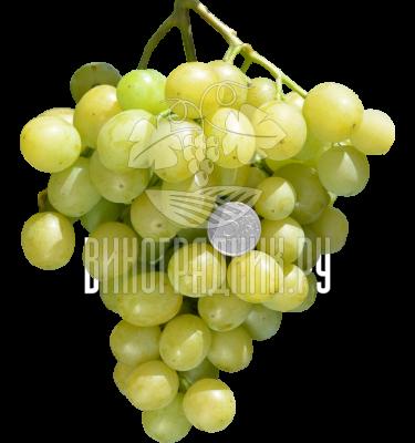 Сорт винограда Б 10-1