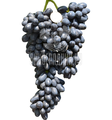 Сорт винограда кишмиш Джой
