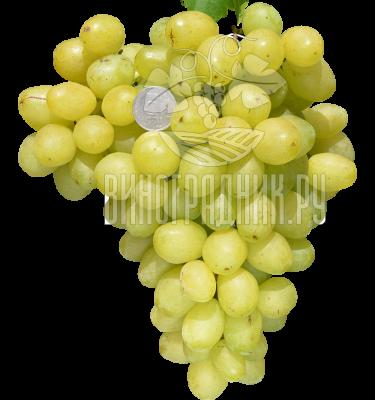 Виноград Украина