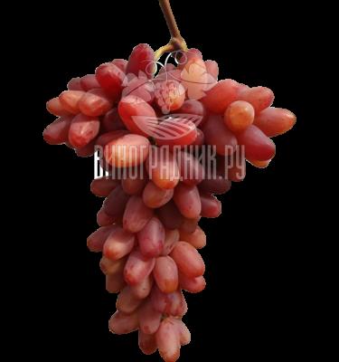 Сорт винограда Казанова