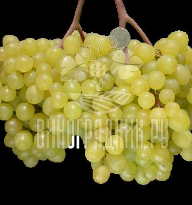 Виноград Кишмиш Цимус